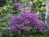 Rhododendron Praecox • Rhododendron Praecox