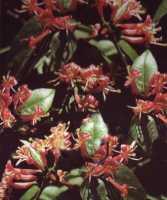 Immergrünes Geißblatt • Lonicera henryi