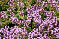 Garten-Thymian Doone Valley • Thymus comosus Doone Valley