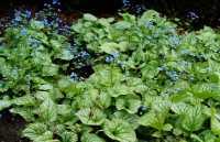 Kaukasusvergissmeinnicht Jack Frost • Brunnera macrophylla Jack Frost