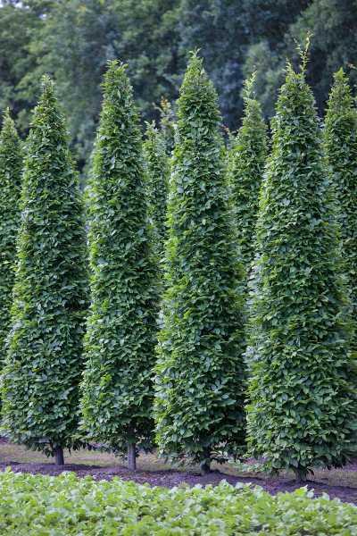 Pyramiden-Hainbuche • Carpinus betulus Fastigiata