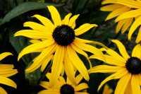 Sonnenhut • Rudbeckia fulgida sullivantii Goldsturm