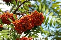 Eßbare Eberesche • Sorbus aucuparia Edulis