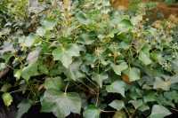 Strauch-Efeu Arborescens • Hedera helix Arborescens