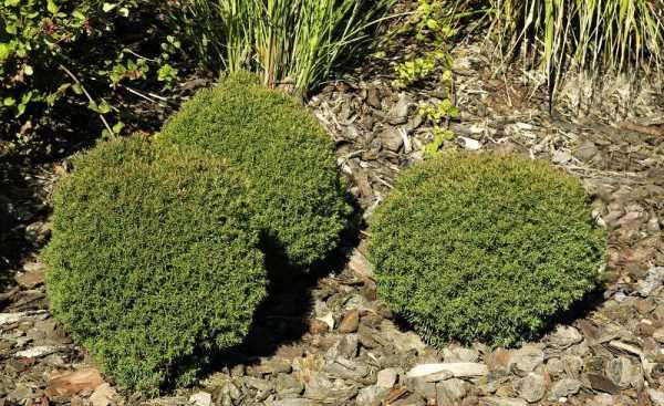 Lebensbaum Teddy • Thuja occidentalis Teddy
