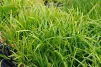 Grünblättrige Segge Irish Green • Carex foliosissima Irish Green