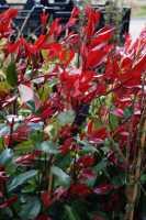 Glanzmispel • Photinia fraseri Red Robin