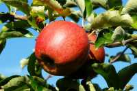 Apfelbaum Jonagored • Malus Jonagored