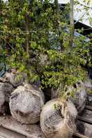 Hainbuchenhecke • Carpinus betulus