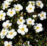 Fingerstrauch Abbotswood • Potentilla fruticosa Abbotswood