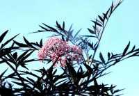 Flieder/ Holunderbeere Black Lace (Eva) • Sambucus nigra Black Lace (Eva)