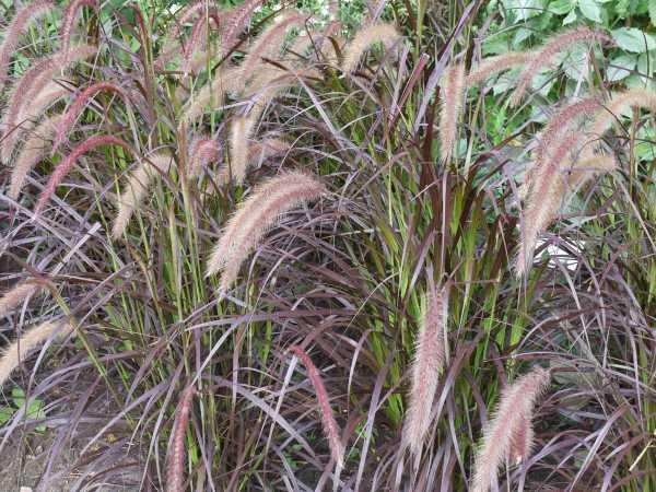 Rotes Federborstengras • Pennisetum setaceum Rubrum