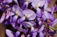 Chinesischer Edelblauregen Prolific • Wisteria sinensis Prolific