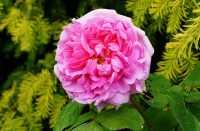 Rose Mme. Boll • Rosa Mme. Boll