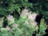 Sommer- tamariske • Tamarix ramosissima