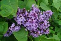 Wildflieder • Syringa vulgaris