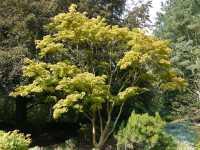 Japanischer Goldahorn Aureum • Acer shirasawanum Aureum