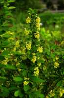 Gewöhnliche Berberitze • Berberis vulgaris