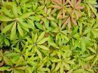 Schattenglöckchen Forest Flame • Pieris japonica Forest Flame