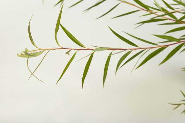 Trauerweide • Salix alba Tristis