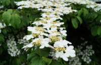 Japanischer Schneeball • Viburnum plicatum Mariesii