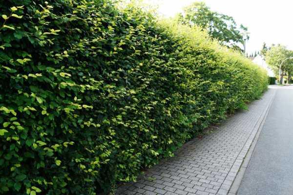 Rotbuchenhecke • Fagus sylvatica