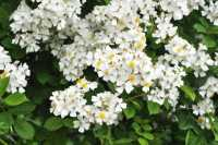 Rispen-Rose • Rosa multiflora - Wildrose