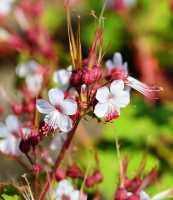 Garten-Storchschnabel • Geranium macrorrhizum Spessart