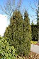 Kegel-Eibe • Taxus baccata Overeynderi