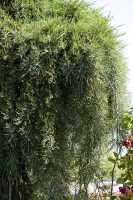 Kalifornischer Berg Mammutbaum 'Pendulum' • Sequoiadendron giganteum 'Pendulum'