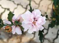 Hibiskus Eibisch Leopoldii • Hibiscus Leopoldii
