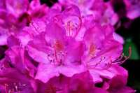 Rhododendron Roseum Elegans • Rhododendron hybride Roseum Elegans