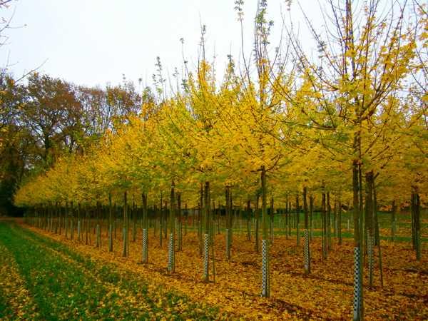 Feldahorn Elsrijk • Acer campestre Elsrijk