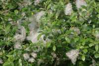Schwarzweide • Salix nigricans