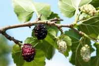 Schwarze Maulbeere • Morus nigra