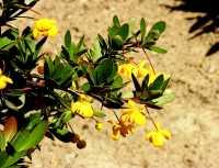 Buchsbaum Berberitze • Berberis buxifolia Nana