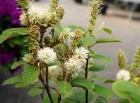 Wintergrüne Ölweide • Elaeagnus ebbingei