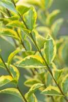 Goldliguster • Ligustrum ovalifolium Aureum