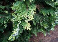 Heckenzypresse Alumigold • Chamaecyparis lawsoniana Alumigold