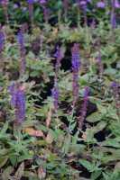 Garten-Salbei • Salvia nemerosa Ostfriesland