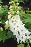 Pacific-Garten-Rittersporn Galahad • Delphinium Pacific Galahad