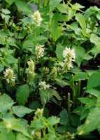 Garten Duftnessel • Agastache rugosa Alabaster