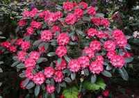 Rhododendron Rendezvous • Rhododendron Rendezvous