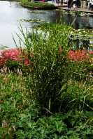 Garten-Zebraschilfgras • Miscanthus sinensis Zebrinus