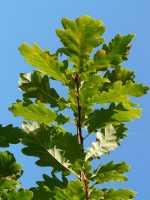Eiche • Quercus robur
