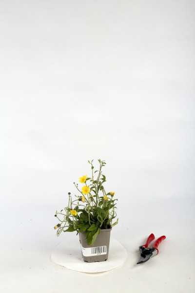 Kleines Habichtskraut • Hieracium pilosella