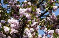 Hängende Nelkenkirsche Kiku-shidare-zakura • Prunus serrulata Kiku-shidare-zakura