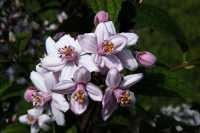 Rosen-Deutzie • Deutzia hybrida Mont Rose