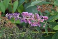 Vielfarbiger Sommerflieder • Buddleja davidii Flower Power