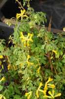 Gelbblühender Scheinlerchensporn • Corydalis lutea